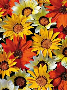 Gazania Seeds New Day Sunny Side Up Gazania Linearis 15 thru 200 Seeds Treasure Flower Seeds