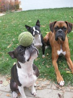 This Boxer is envious of what his Boston Terrier pal can do.