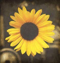 Junkyard Beauty Fine Digital Art Photography Home Decor Ready to Frame Prints Wall Art Yellow Sunflower Fall Flower Gritty Brown Nebraska