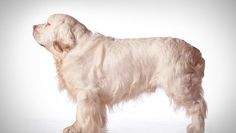 Clumber Spaniel : Dog Breed Selector : Animal Planet