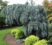 Picea pungens 'Glauca Slenderina® Pendula' Weeping Blue Spruce available at Lael's Moon Garden - this picture was taken at another nursery's display garden.  Our plants are in a #3 pot and are smaller.