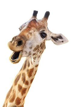 Find Giraffe Head Face Look Funny Isolated stock images in HD and millions of other royalty-free stock photos, illustrations and vectors in the Shutterstock collection. Giraffe Head, Giraffe Art, Cute Giraffe, Baby Giraffes, Cartoon Giraffe, Cute Baby Animals, Animals And Pets, Pictures Of Baby Animals, Funny Giraffe Pictures
