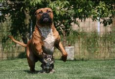 Molosser Dogs Gallery / boerboel and chihuahua