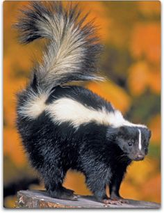 The skunk is one of the most widely recognized mammals, but it is also one of the most misunderstood. It is a very powerful totem with mystical and magical associations.When it enters into your experience,  you need to begin to be more assertive and stand your ground as necessary. Don't let yourself be manipulated or pushed around. Make your self-respect and dignity a top priority, offering the same respect to others. (Ted Andrews, Animal Speak)
