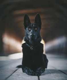 Wicked Training Your German Shepherd Dog Ideas. Mind Blowing Training Your German Shepherd Dog Ideas. Black German Shepherd Dog, Dog Activities, Working Dogs, Beautiful Dogs, Dog Life, Best Dogs, Chihuahua, Dogs And Puppies, Doggies