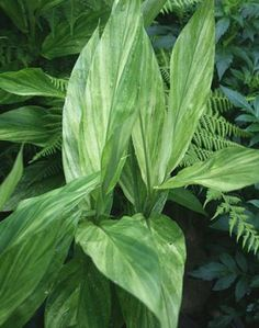 """Zingiber Silver Arrow,buy Ginger for sale,Plants on-line-Plant Delights Nursery, Inc.    Zone 6-9, possibly colder  Height 36""""  Culture Part Sun to Light Shade  Origin Japan"""