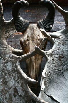 Antelope skull with moose antlers.