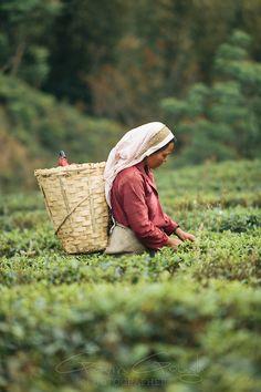 A woman picking tea in a plantation, Glenburn Tea Estate, Darjeeling, India. #GreenTea #TeaField