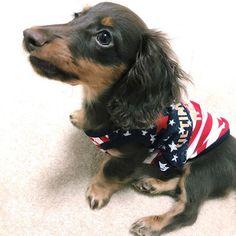 イケメンだなー🤣💓 ・ ロンの居たペットショップで 可愛いお洋服GETしてきた! 私の服より高いんだから💸笑 ・ #dachshund #dog #dogstagram #puppy #instadogs #instagood #dogfashion #カニンヘンダックスフンド #ダックス #愛犬 #ロン #子犬 #3ヶ月