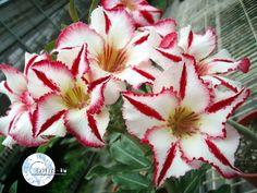 Kit com 05 sementes da Cor KO 38 - Adenium Obesum - Rosa do Deserto Flor com tamanho diferenciado em relação às outras Adenium!