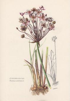 1954 Flowering Rush Botanical Print Vintage by Craftissimo on Etsy