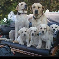 Yellow Lab Family