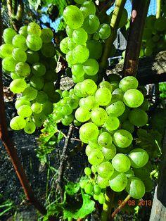 Зимостойкий виноград для виноделия в средней полосе - сорт Bianca