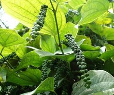 How To Grow Black Pepper - grow your own ground black pepper in your garden or in pots... #gardening #homesteading