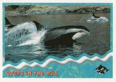 1995 SkyBox Free Willy The Adventure Home Orcas in the wild: strong Front Free Willy, Sports Gallery, Orcas, Trading Card Database, Trading Cards, Strong, Adventure, Killer Whales, Collector Cards