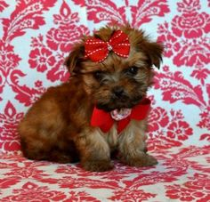 The Bradleys will have one these very soon...sooo cute...its a Morkie by the way :)