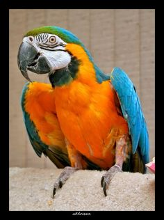 Rocky - Blue and Gold Macaw