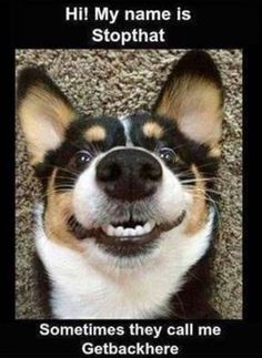 Stopthat funny cute memes animals dog puppy meme lol funny quotes humor funny animals of dog memes Funny Cute Memes, Funny Animal Memes, Cute Funny Animals, Funny Animal Pictures, Dog Pictures, Funny Quotes, Funny Stuff, Funny Dog Pics, Quotes Quotes