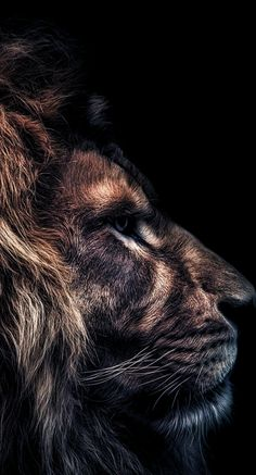 ZdoRodZ Best Picture For Feline anatomy For Your Taste You are looking for something, and it is goin Lion And Lioness, Lion Of Judah, Tier Wallpaper, Animal Wallpaper, Beautiful Creatures, Animals Beautiful, Beautiful Beautiful, Regard Animal, Lion Photography