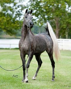 Egyptian Arabian horse