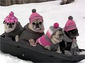 Nothing Could Be Cuter Than These Sledding Pugs - Love This!