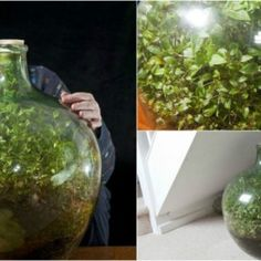I am absolutely amazed by this story. This sealed bottle garden has been thriving since 1960 with only one-time watering. David Latimer has grown a sealed bottle garden on Easter Sunday in 1960. He planted spiderwort sprout in this 10-gallon glass carboy, water it, and sealed the bottle. In...