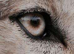 White Wolf: The incredibly detailed photos that reveal animal eyes in extreme close- up - these are shocking and gorgeous. Narnia, Beautiful Wolves, Beautiful Eyes, Beautiful Creatures, Animals Beautiful, Regard Animal, Solas Dragon Age, Howleen Wolf, The Wicked The Divine