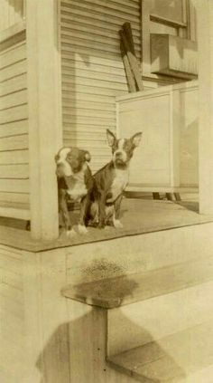 "Vintage Photo ""Boston Twins"" Terrier Snapshot Photo Old Antique Photo Black & White Photograph Found Photo Paper Ephemera Vernacular - 61 Antique Photos, Vintage Photos, Vintage Photographs, Boston Terrier Love, Boston Terriers, Dog Photos, Dog Pictures, Boston Pictures, Toy Fox Terriers"