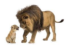 Find Lion Standing Looking Lion Cub stock images in HD and millions of other royalty-free stock photos, illustrations and vectors in the Shutterstock collection. Lion Of Judah, Lion Cub, Zoo Animals, Cute Animals, Wild Animals, Disney Cats, Lion Images, Cat Walk, Cute Animal Pictures