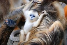 very cute baby Golden monkey -- what a face Monkey Types, Types Of Monkeys, Cute Creatures, Beautiful Creatures, Animals Beautiful, Primates, Orangutan Monkey, Cute Baby Monkey, Tiny Monkey