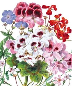 """""""Geranium"""", Very bright and colourful card from The Natural History Museum"""