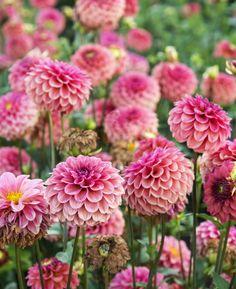 Oregon Flower, Flower Farm, Dahlia, Farms, Swan, Flora, Garden, Plants, Photography