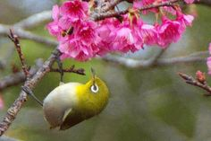 Discover & share this Flowers GIF with everyone you know. GIPHY is how you search, share, discover, and create GIFs. Cherry Blossom Japan, Cherry Blossom Flowers, Flowers Gif, Deep Meditation, White Eyes, Cinemagraph, Beautiful Birds, Twitter, Garden Inspiration