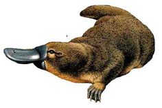 """""""Los únicos mamíferos que ponen huevos son el ornitorrinco y el …"""" (El Ventilador, Difusión, p. 20). Tasmania, Amphibians, Mammals, Top Hat Drawing, Post Animal, Australian Animals, Australian Party, Curious Creatures, Platypus"""