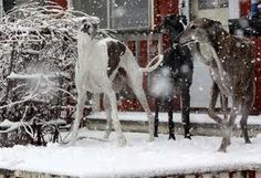 greyhounds in the snow