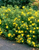 Pensashanhikki Goldfinger Tree, Flowers, Garden, Shrubs, Perennials, Plants