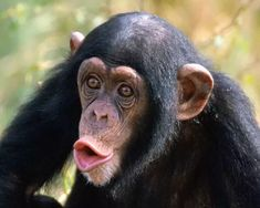 Let's check out the list of these critically endangered animals facts. Endangered animals are species that are threatened with extinction – that is, dying off of all individuals of their kind. Primates, Mammals, Gorilla Gorilla, Especie Animal, Animal Facts, Endangered Animals Facts, Endangered Species, Photos Singe, Funny Monkey Pictures