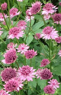 Astrantia 'Roma' - long flowering, hardy perennial with deep pink pin cushion flowers.