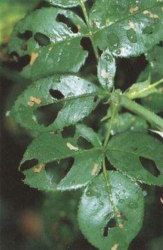 Objawy żerowania nimułki różanej Plants, Flora, Leaves, Plant Leaves, Garden Gates, Secret Garden, Rose, Garden