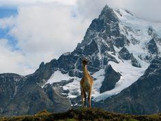 Tatjana Größbacher 2 Min · Bearbeitet ·    Riesige Guanako-Herden weideten an den grünen Hängen unterhalb der schroffen, schneebedeckten Gipfel. Majestätisch auch der Anblick des Leittieres, welches seine Herde von einem kleinen Hügel aus überwachte (Chile 2011)
