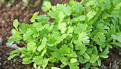 salsinha (Petroselinum crispum)