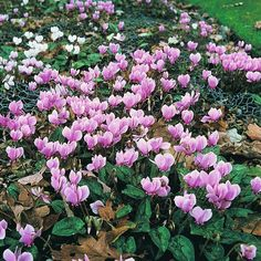 Cyclamen 'All-the-year-round Flowering Mixed'  		  	     			  				Hardy Perennial