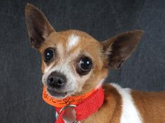 Adopt Buttercup, a lovely 9 years Dog available for adoption at Petango.com.  Buttercup is a Chihuahua, Short Coat and is available at the National Mill Dog Rescue in Colorado Springs, Co.  www.milldogrescue.org #adoptdontshop  #puppymilldog   #rescue  #adoptyourfriendtoday