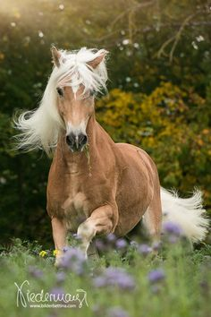 I am Remember me, R for short, I am a haflinger stallion that likes to run in the pasture, I am a young stallion, no mate