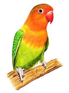 BON MONDIAL A VOUS...TUBES OISEAUX VARIES Bird Painting Acrylic, Watercolor Bird, Watercolor Paintings, Bird Drawings, Colorful Drawings, Animal Drawings, Aigle Animal, Scratchboard Art, Medical Art