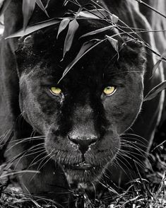 Follow @wildtvhd for more amazing animals photos & videos! @wildtvhd - Black Jaguar - Photo by ©Colin Langford #WildlifePlanet