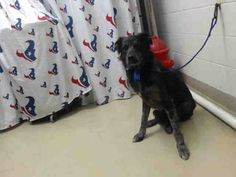 This DOG - ID#A468983 - URGENT - Harris County Animal Shelter in Houston, Texas - ADOPT OR FOSTER - 2 year old Male Australian Shepherd - at the shelter since Sep 24, 2016.