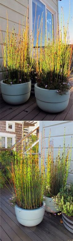 101 Gardening: Planting Equisetum in pots
