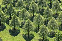 Fotograf Lime trees in rows von Klaus Leidorf auf 500px