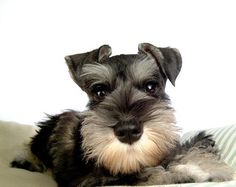 OMG this is such a super darling mini schnauzer puppy, how can you not fall in love with this AWSOME breed, so beautiful, smart, loyal, and the most loving dogs you will ever find!!